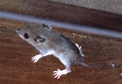 Best Ways To Get Rid Of Mice In Your House Permanently