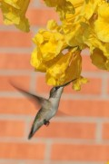 When do Hummingbirds Return in Spring?