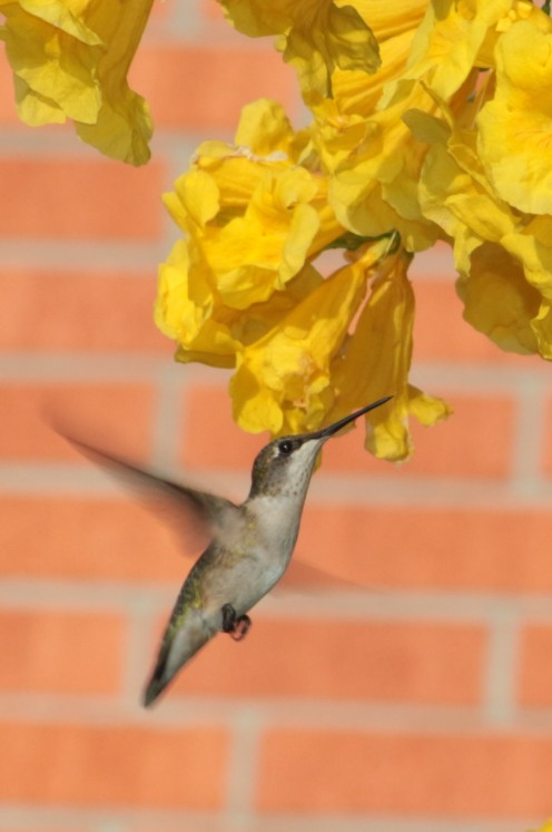 Yellow Bell is a favorite for hummingbirds. Picture captured during the Rockport Hummingbird Festival.