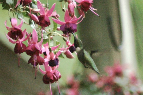 Hanging Fushia, a great attracter