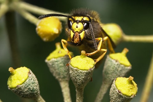 Wasp on flowers.