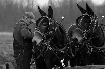 Some farmers were working  with mules in the early days of farming in the U.S.A.