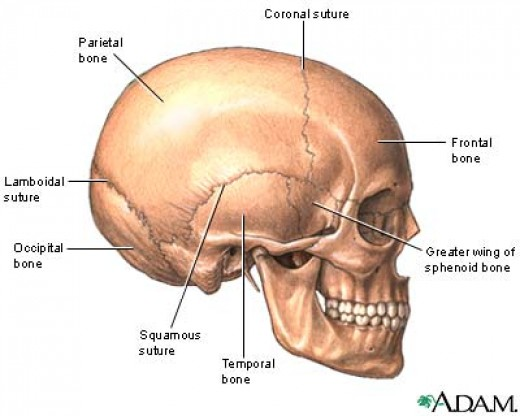 The skull with meandering plate edges.
