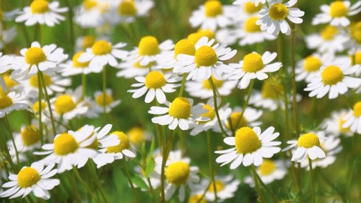 Chamomile for sleep issues