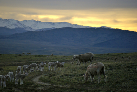 A photograph by the author showing some members of her flock of sheep.