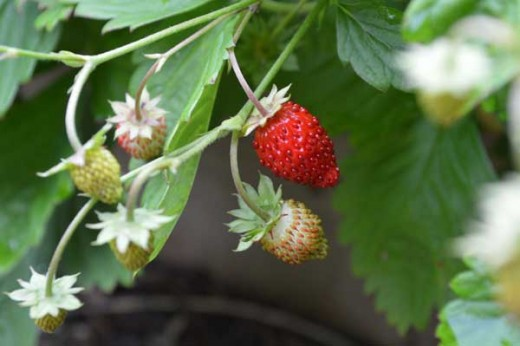 Alpine strawberries growing in their second year.