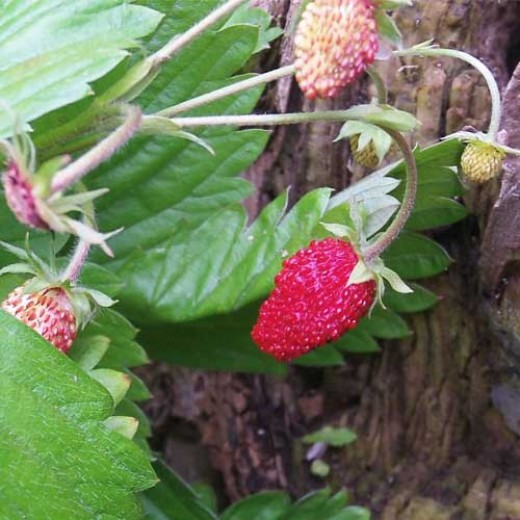 Wild strawberries in the summer.