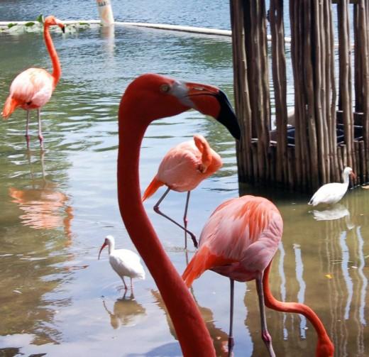 The beautiful flamingos at Lion Country Safari in West Palm Beach!  Even though they are incredibly rare to find in the wild down here, they are still heavily associated with Florida. photo by AMB