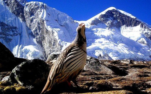 The Wazzoo - National bird of the mythical Kingdom of Nepal (Image source: Pixabay.com)