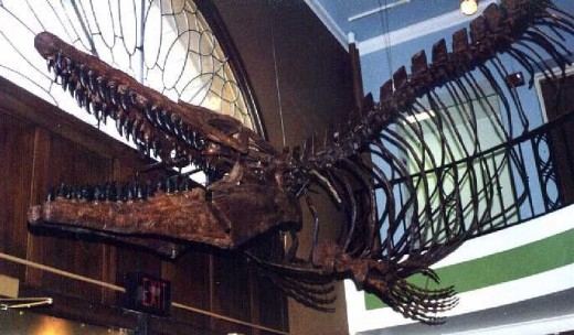 Mosasaur specimen hanging overhead in the foyer of the University of Kansas Museum of Natural History