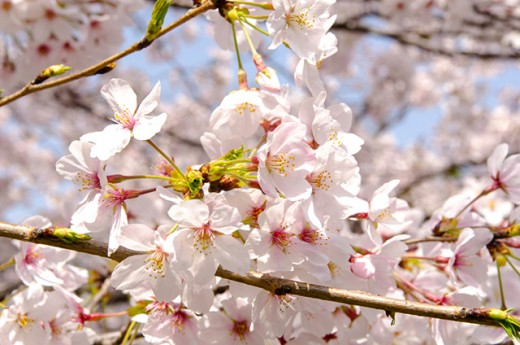 Depending on your destination, a Sakura viewing trip could be in March, or in May.