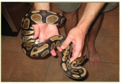 A Ball Python is another snake that is easy to handle.