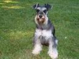 This is Remi.  Jackie and my deceased Mini-Schnauzer, Chico, compete for first place in my memories.