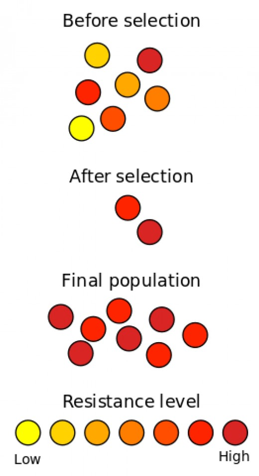 Schematic representation of how antibiotic resistance evolves via natural selection.