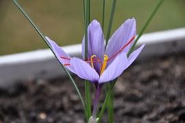 Saffron Crocus - notice the 3 red-orange stamens used in the making of saffron