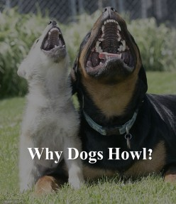 how to get a dog to howl