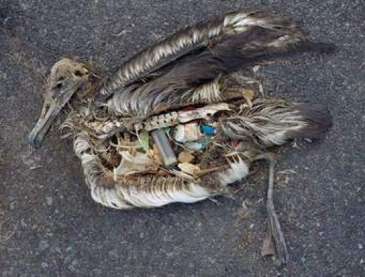 Dead Albatross on Midway Island