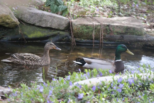 Mama and Papa Duck Enjoy our Backyard Garden Pond