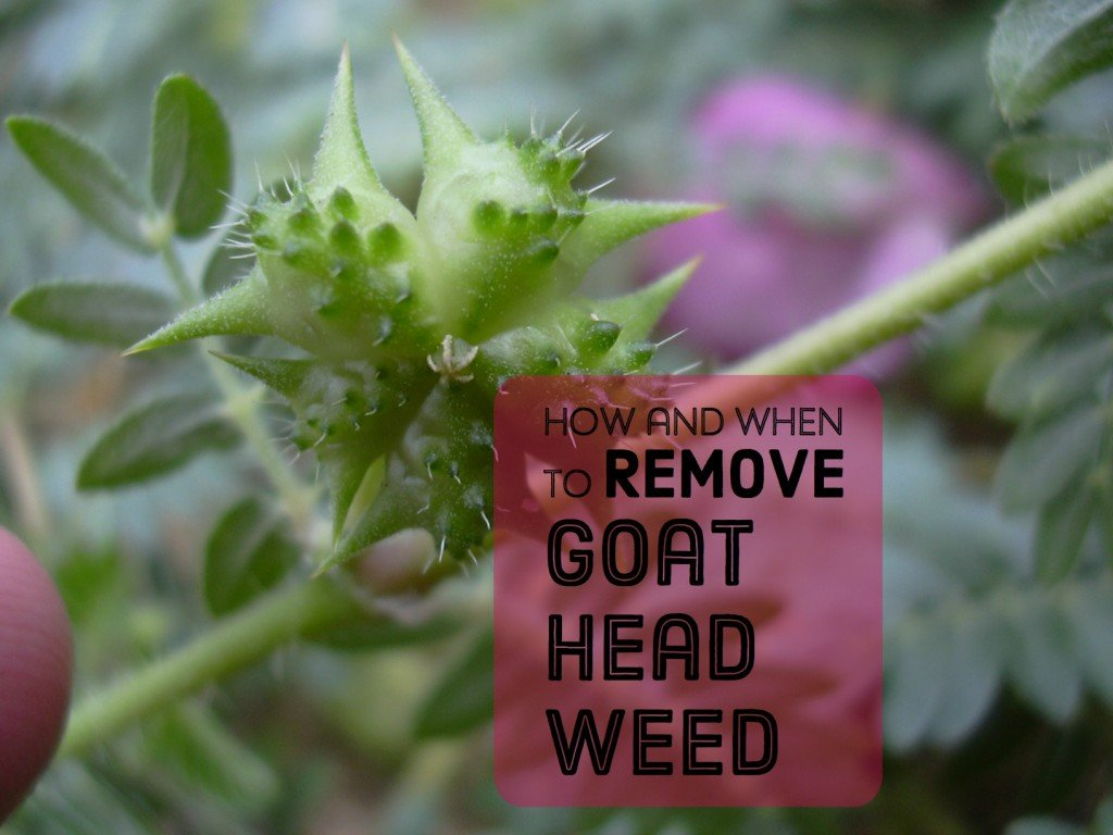 getting rid of goat head weeds seeds and stickers dengarden