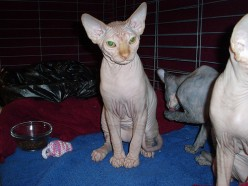 Do you know much about Velour Sphynx Cats?