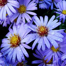 Asters after rain by pearceval on flickr