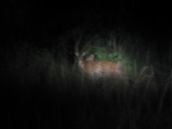 Deer seen at night during night safari