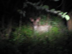 Deer seen at night during our night safari