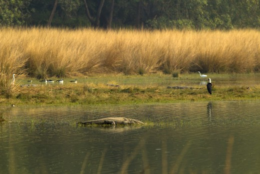 Rajbagh lake - Crocodile, wooly necked stork and other birds..