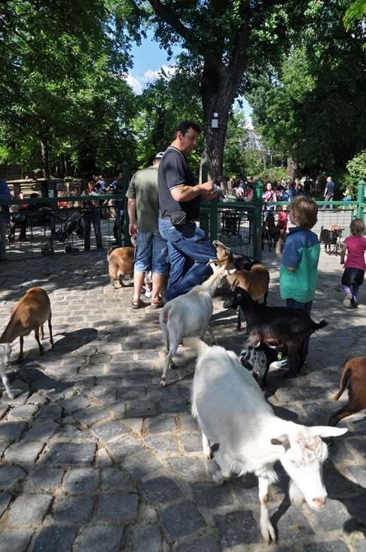 Goats everywhere. One of the highlights of Budapest Zoo for children.