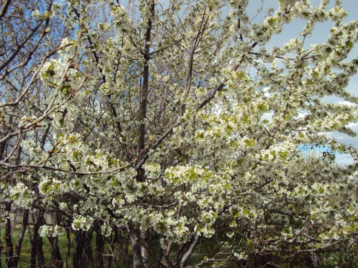 The apple trees are just starting to blossom.  The pear trees are in full blossom.
