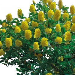 How to Grow Cytisus Battandieri Yellow Tail - Pineapple Broom