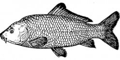 An Old-Fashioned Carp.