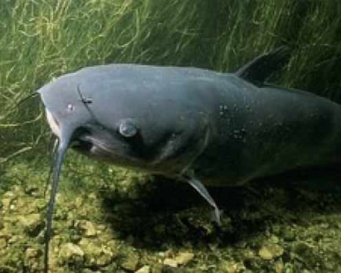 Channel catfish.