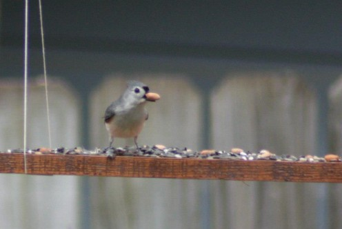 Titmouse found a treasure trove of seeds and peanuts.