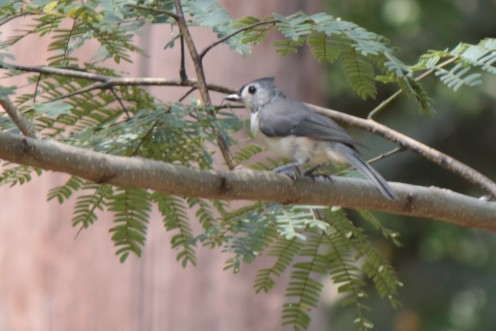 Tufted Titmouse scouting the yard