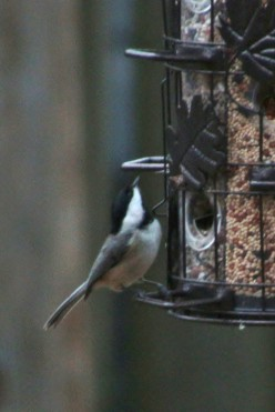Bird World Food Scouts, Titmice and Chickadees