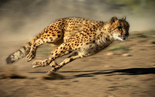 In June 2012 a cheetah named Sarah set a new 100-metre record by covering the distance in 5.95 seconds. Usain Bolt holds the current human record of 9.58 seconds.