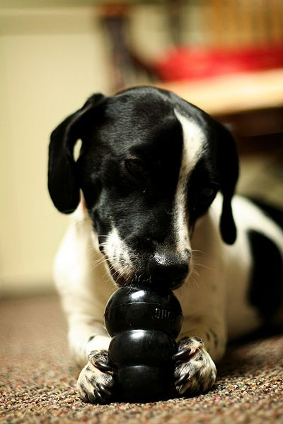 Dog playing with stuffed Kong toy