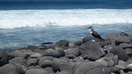 Blue-Footed Booby on North Seymour Island in the Galapagos