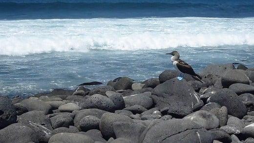 Blue footed Booby on North Seymour Island in the Galapagos