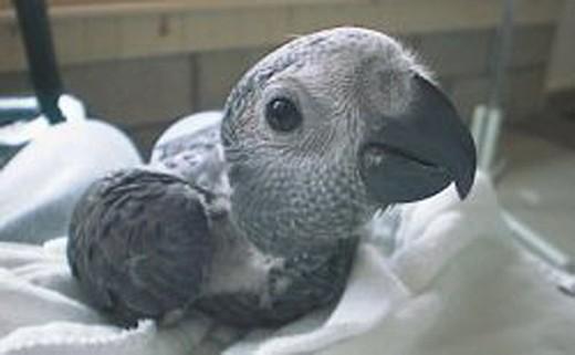 Baby Congo African Grey Parrot