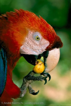 What is the ideal diet for my parrot?