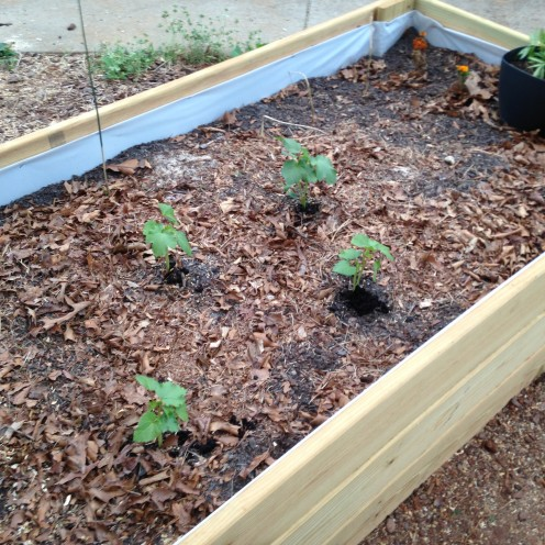 Okra - back view. (Had to move the two closer ones to the other bed when zucchini became a bully.)