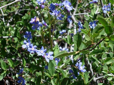 Brilliant blue Speedwell