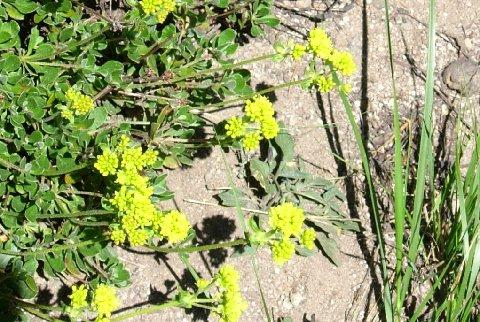 Sulphur Flower