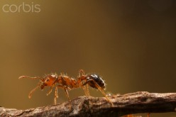 Fire ants are tireless as they are constantly building mounds, securing food and water and protecting the queen fire ant.