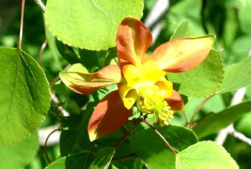 Aquilegia Formosa, the Crimson Columbine Found in sheltered places near creeks. This beauty was in an Aspen grove contrasting with the vivid green of its surroundings of Corn Lilies.