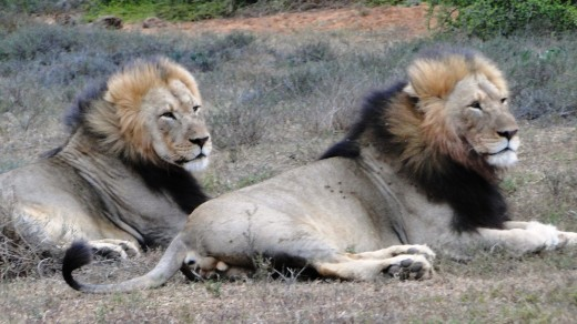 Male Lions on way back to camp