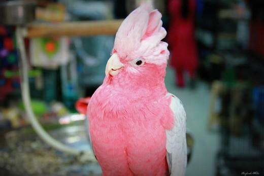 Rose Breasted Cockatoo (or Galah)