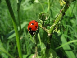 Ladybugs are a Natural (and Colorful) Approach to Pest Control in the Garden